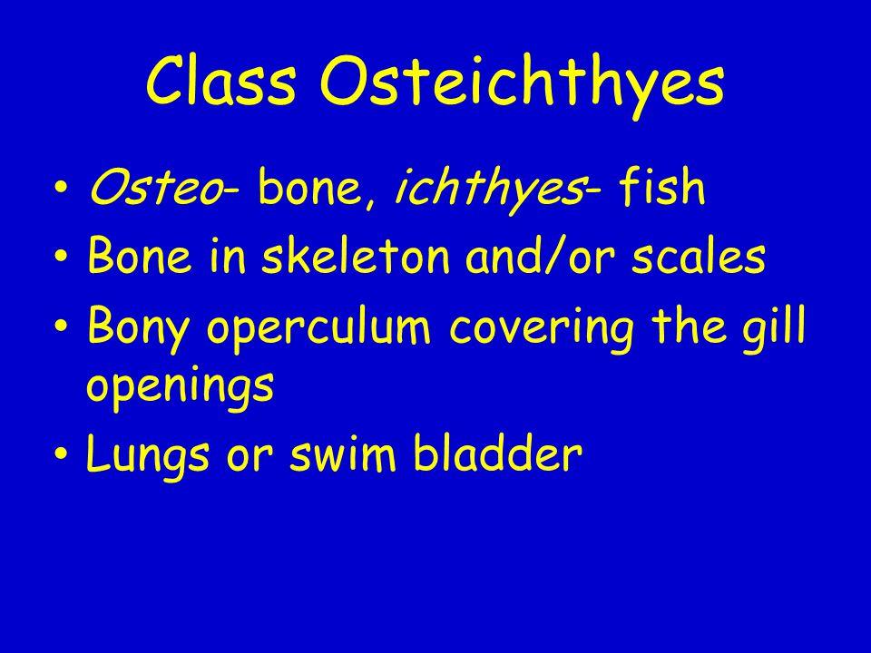 Class Osteichthyes Osteo- bone, ichthyes- fish