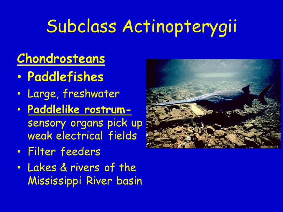 Subclass Actinopterygii