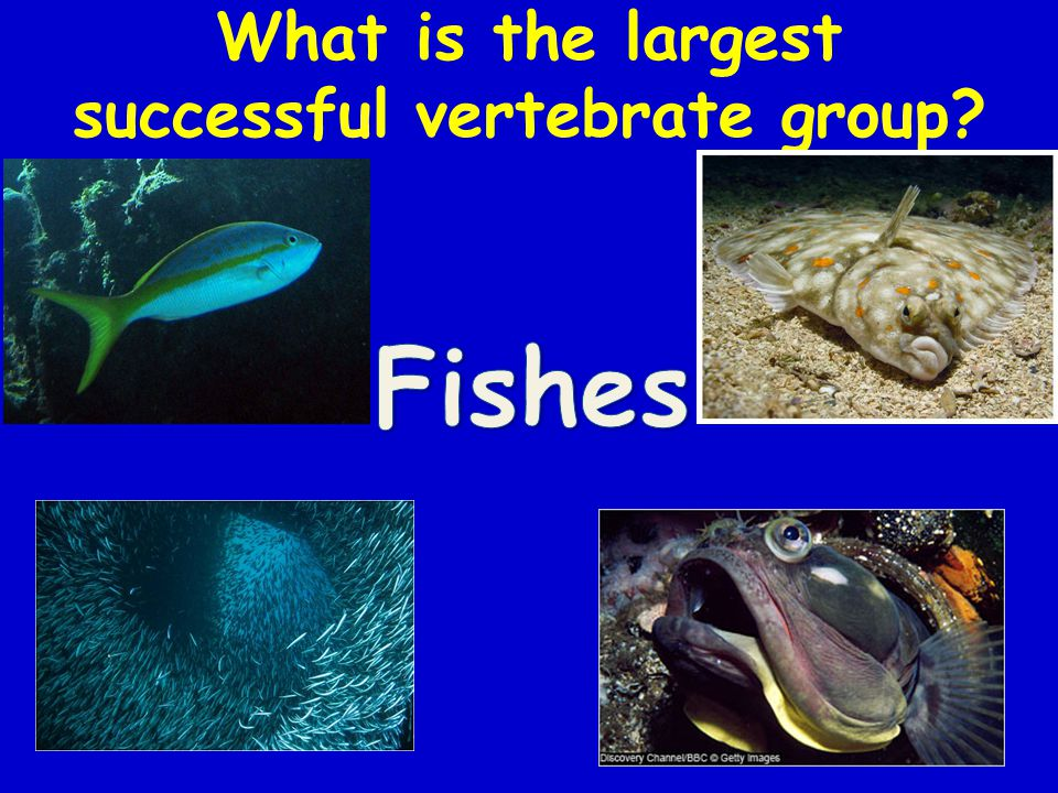 What is the largest successful vertebrate group