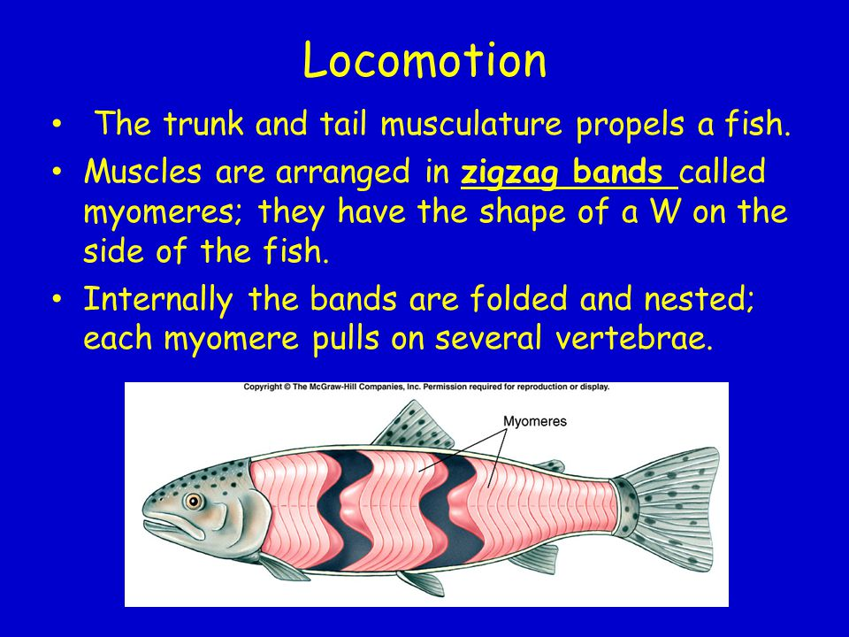 Locomotion The trunk and tail musculature propels a fish.