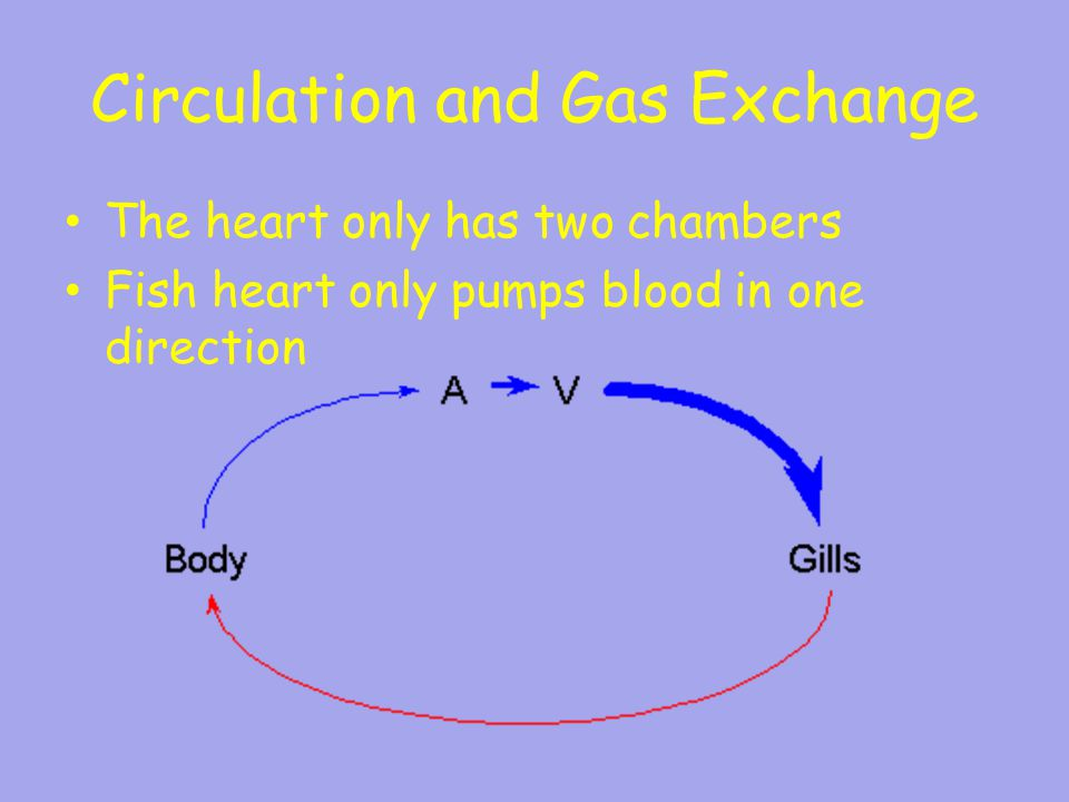 heart circulation and gas excange Circulation and gas exchange heart vein circulation systemic capillaries systemic gill circulation gill capillaries fish have two-chambered heart hart has always oxygen-poor concept 425: gas exchange occurs across.