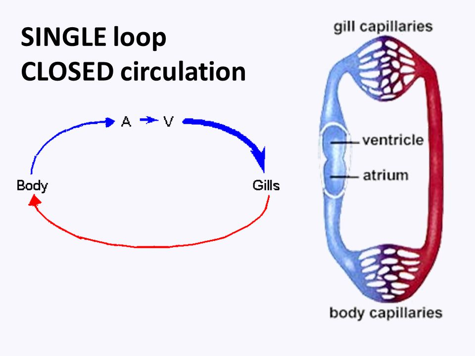 SINGLE loop CLOSED circulation