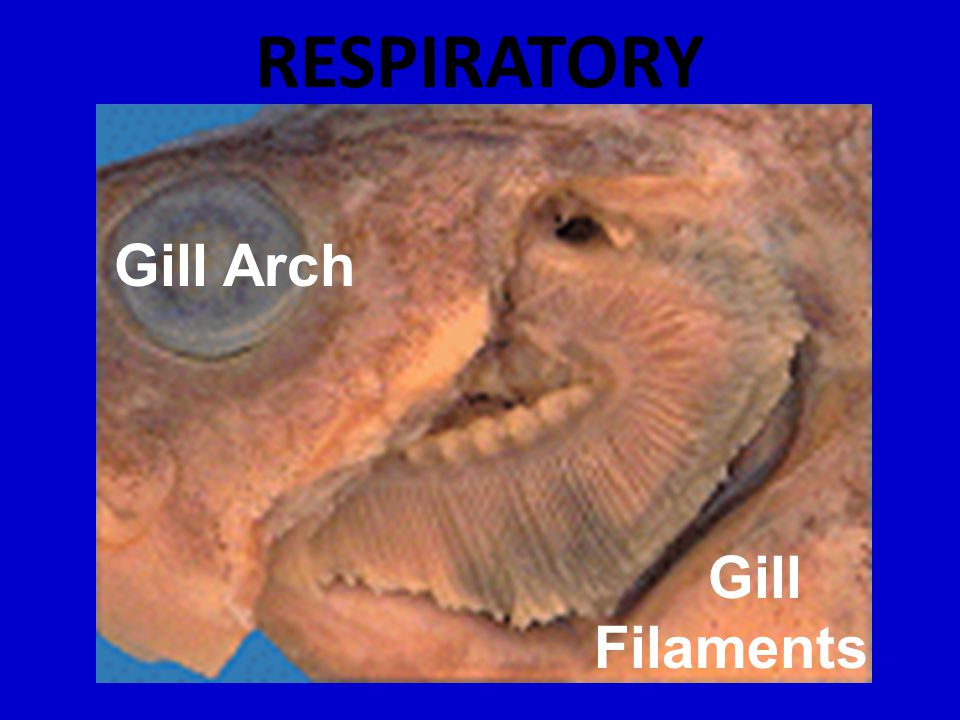 RESPIRATORY Gill Arch Gill Filaments