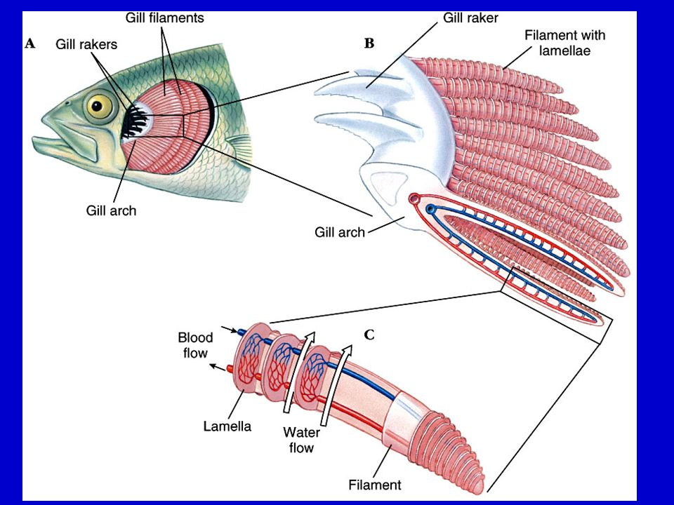 The fishes vertebrate success in water ppt video online for Arches related to breathing gills in fish