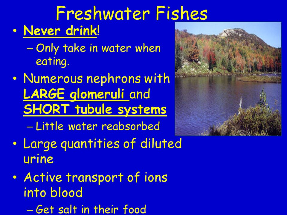 Freshwater Fishes Never drink!