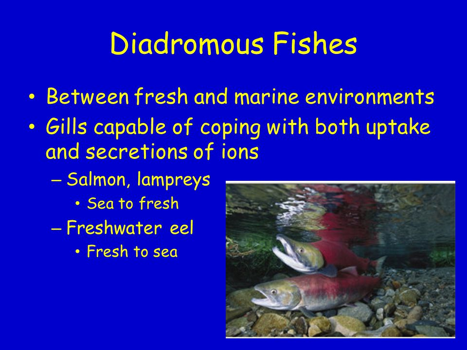 Diadromous Fishes Between fresh and marine environments