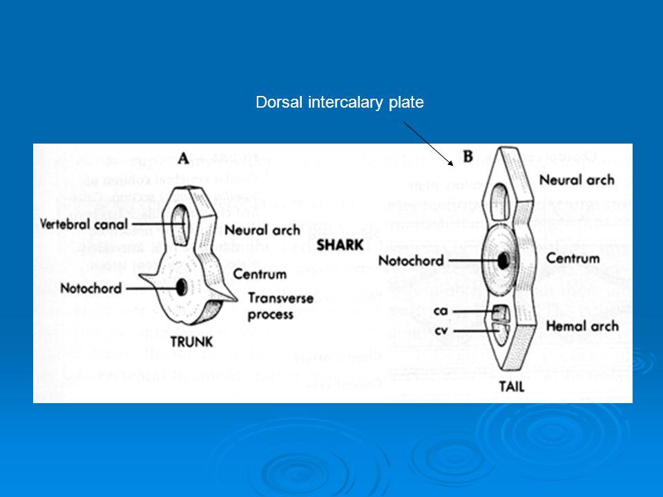 Dorsal intercalary plate