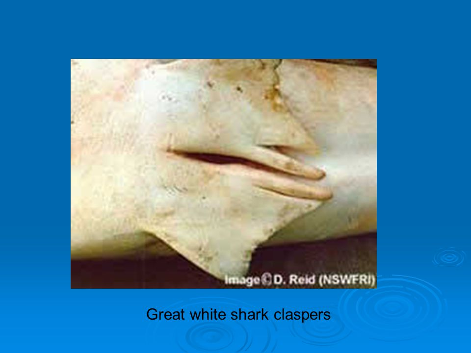 Great white shark claspers