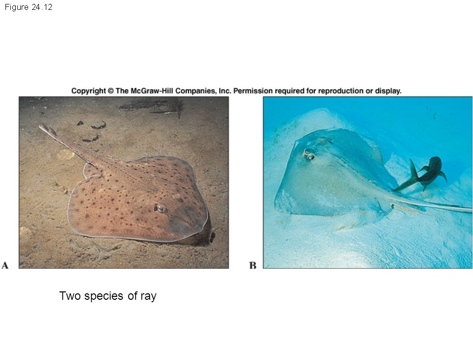 Two species of ray