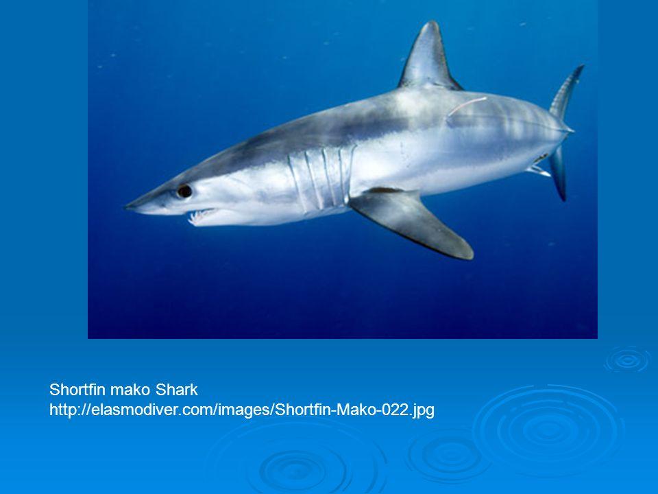 Shortfin mako Shark http://elasmodiver.com/images/Shortfin-Mako-022.jpg