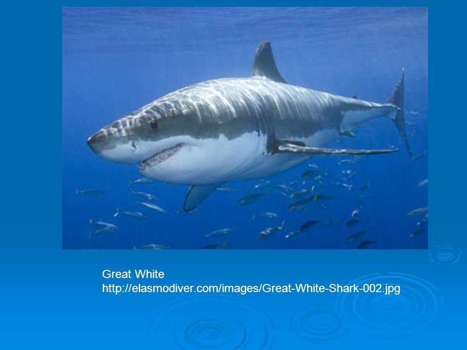 Great White http://elasmodiver.com/images/Great-White-Shark-002.jpg