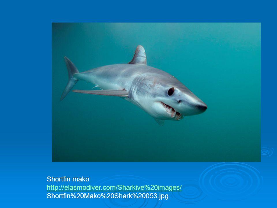 Shortfin mako http://elasmodiver.com/Sharkive%20images/ Shortfin%20Mako%20Shark%20053.jpg