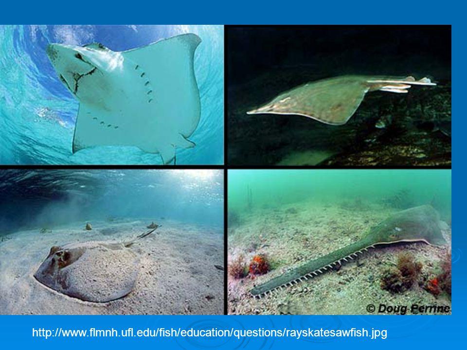 http://www. flmnh. ufl. edu/fish/education/questions/rayskatesawfish