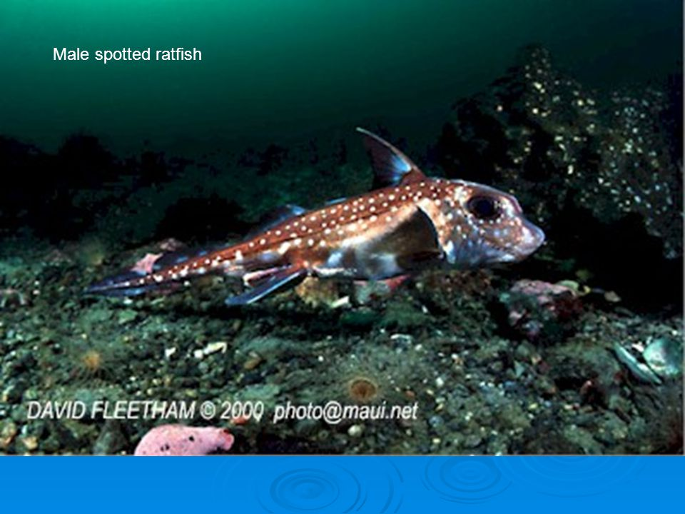 Male spotted ratfish