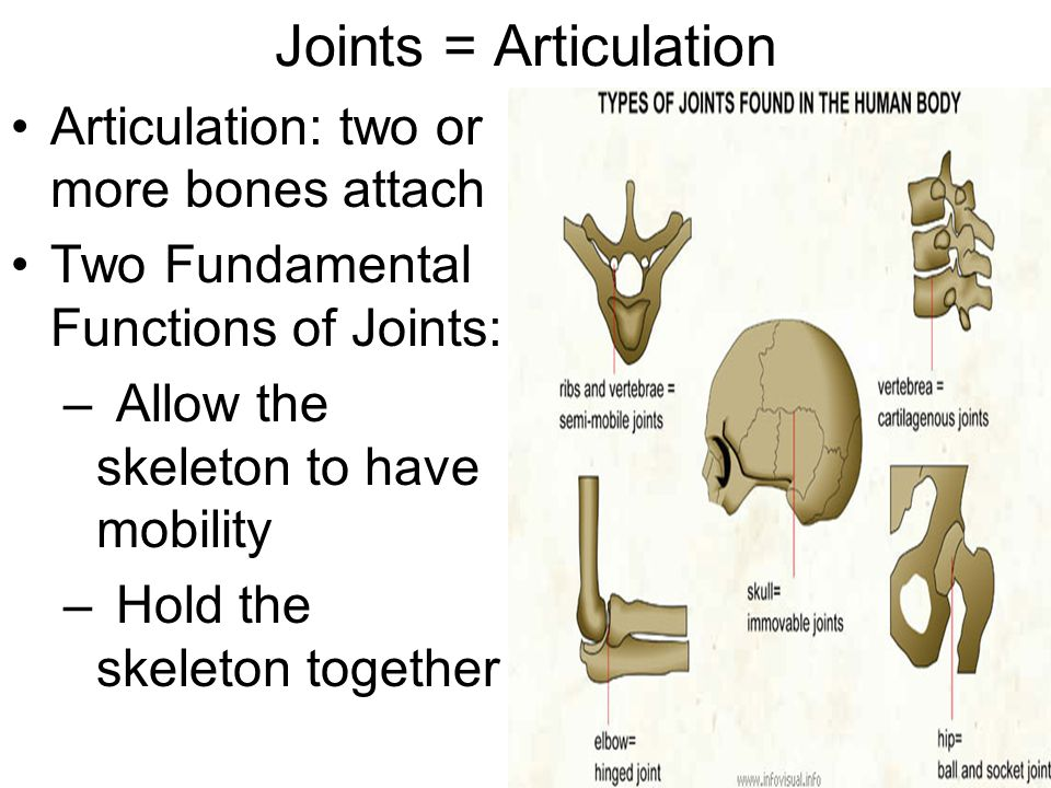 Joints = Articulation Articulation: two or more bones attach