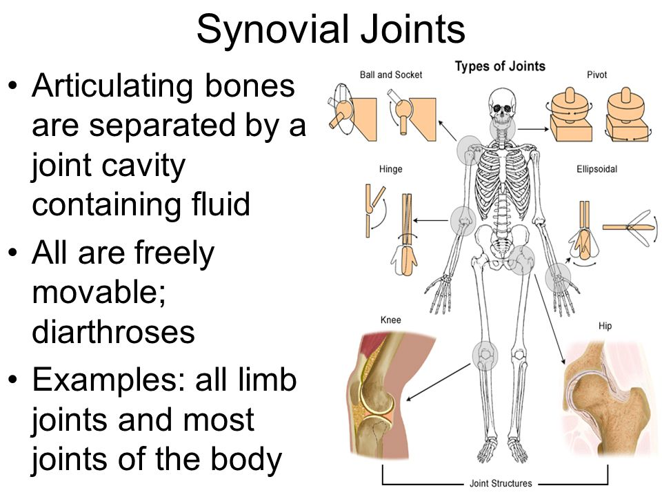 Synovial Joints Articulating bones are separated by a joint cavity containing fluid. All are freely movable; diarthroses.