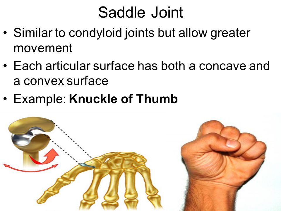 Saddle Joint Similar to condyloid joints but allow greater movement