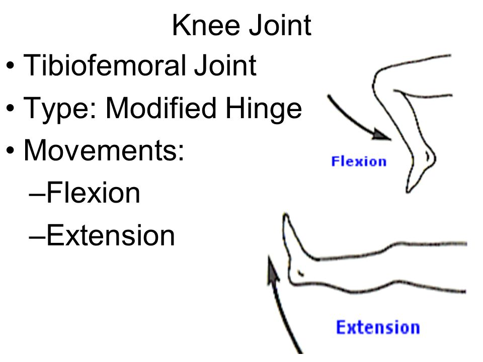 Knee Joint Tibiofemoral Joint Type: Modified Hinge Movements: Flexion Extension