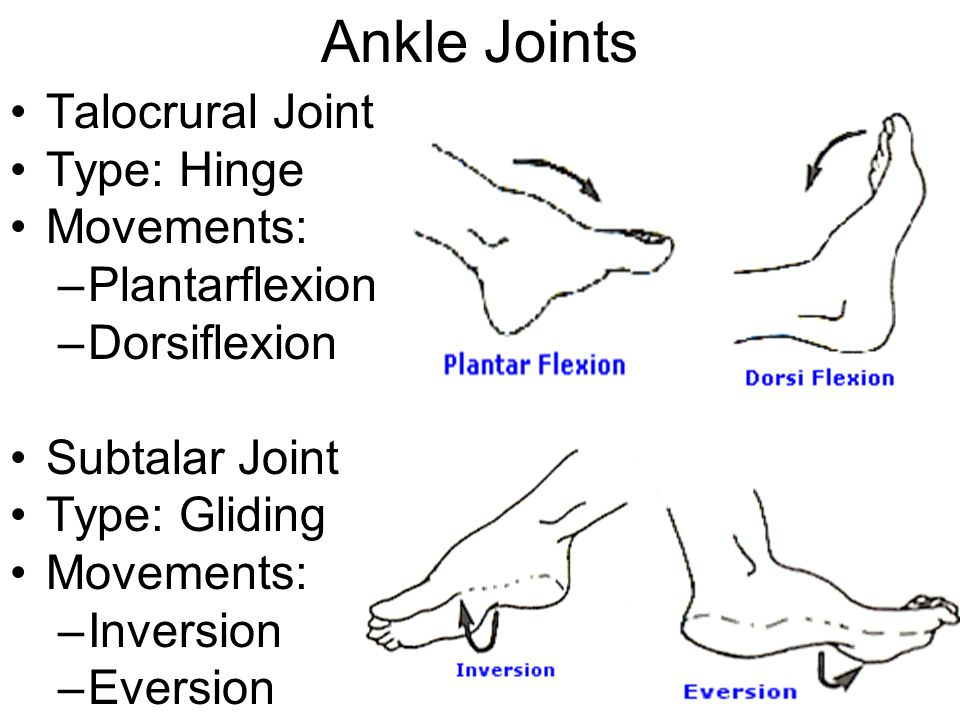 Ankle Joints Talocrural Joint Type: Hinge Movements: Plantarflexion