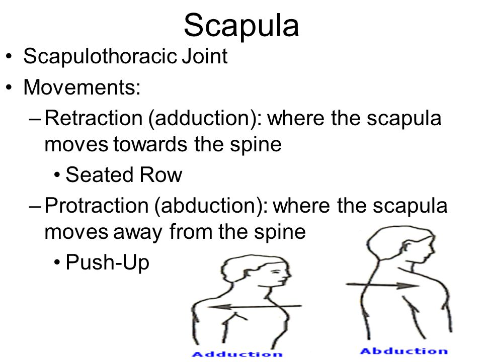 Scapula Scapulothoracic Joint Movements: