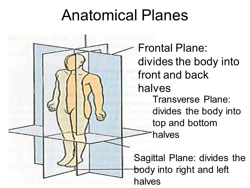Anatomical Planes Frontal Plane: divides the body into front and back halves. Transverse Plane: divides the body into.