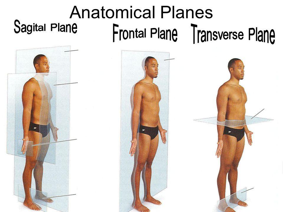 Anatomical Planes Sagital Plane Frontal Plane Transverse Plane