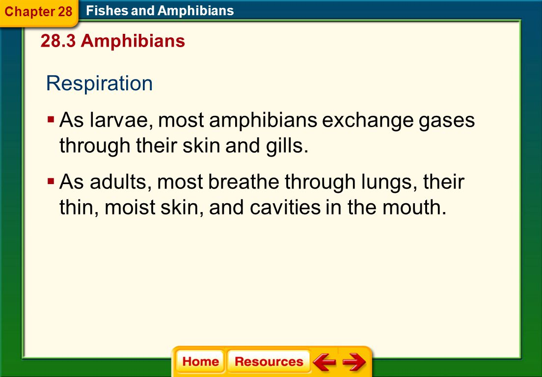 Chapter 28 Fishes and Amphibians. 28.3 Amphibians. Respiration. As larvae, most amphibians exchange gases through their skin and gills.