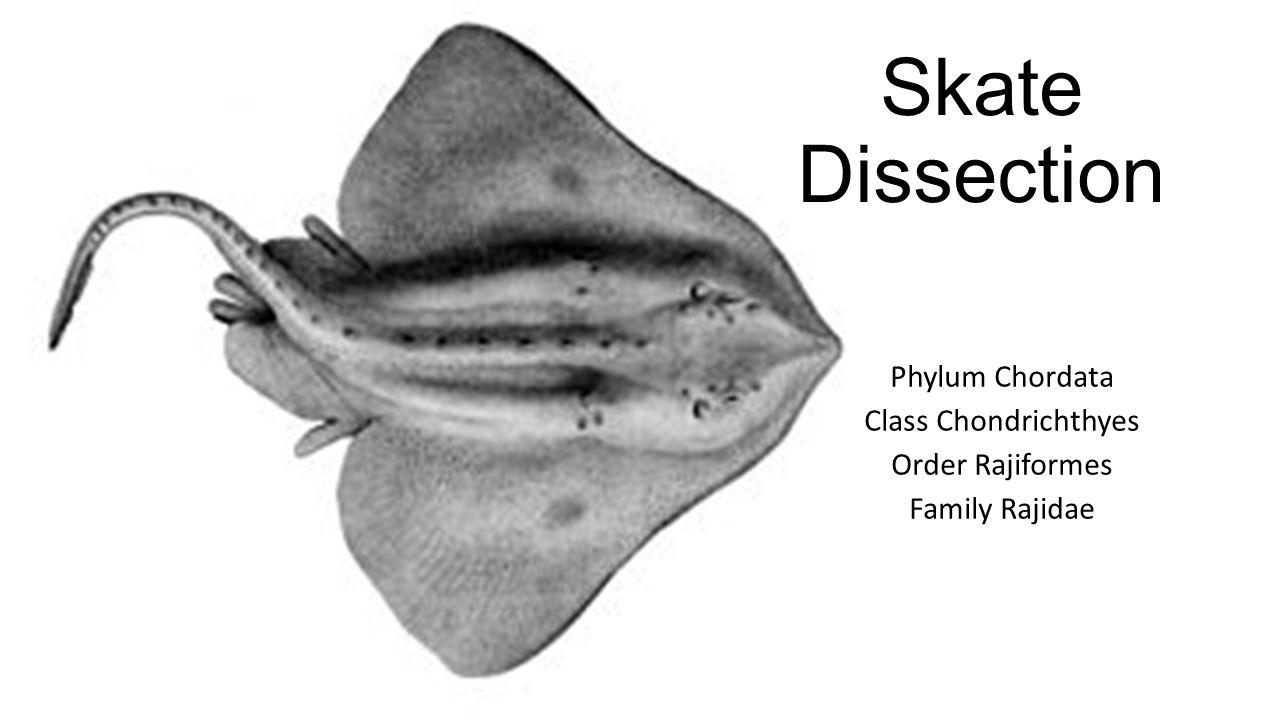 Phylum Chordata Class Chondrichthyes Order Rajiformes Family Rajidae