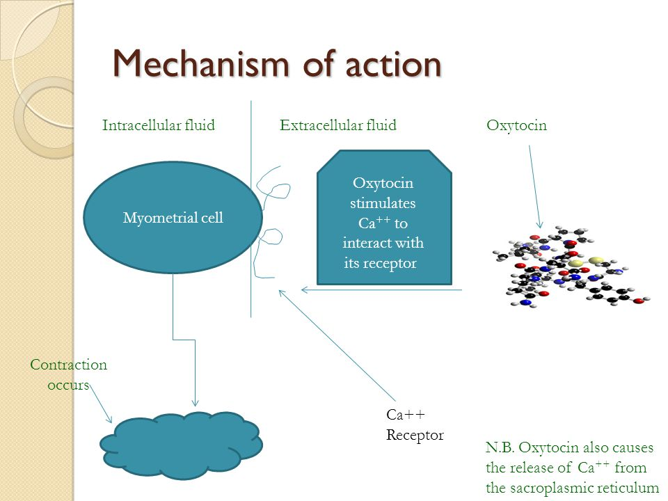 Oxytocin stimulates Ca++ to interact with its receptor