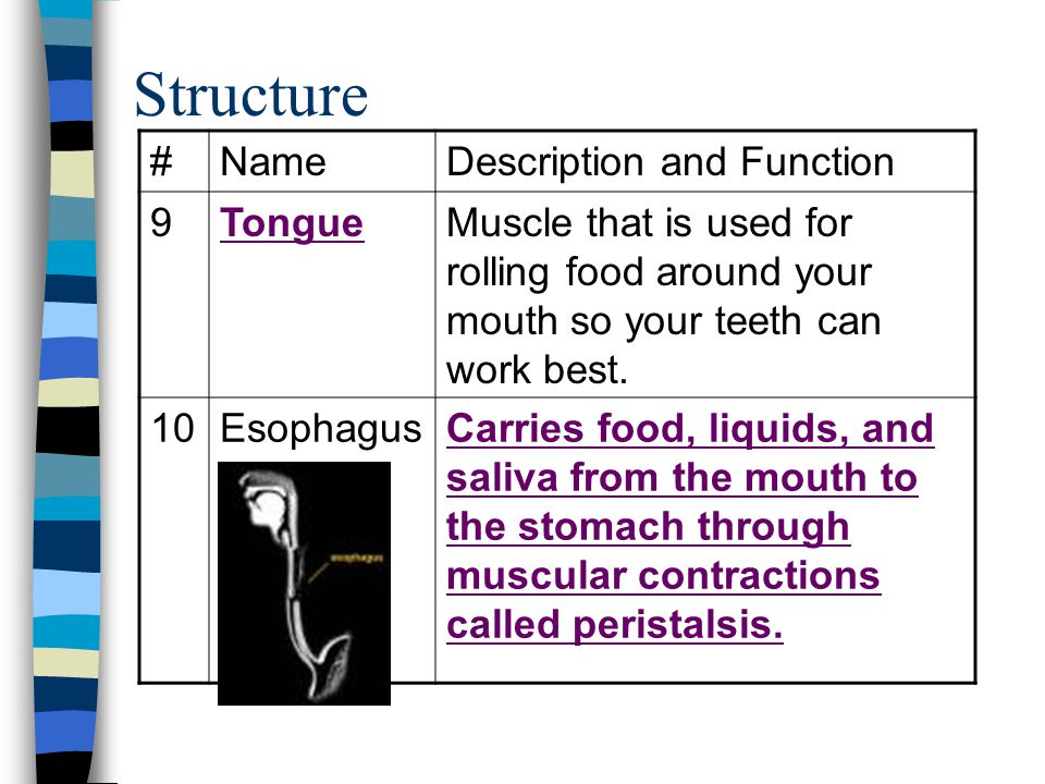 Structure # Name Description and Function 9 Tongue