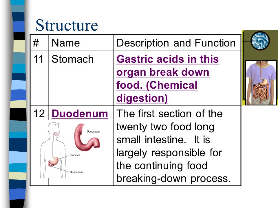 Structure # Name Description and Function 11 Stomach