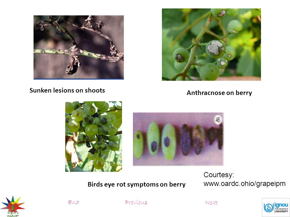 Sunken lesions on shoots Anthracnose on berry