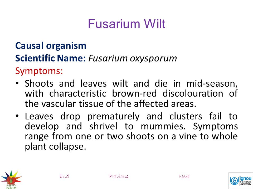 Fusarium Wilt Causal organism Scientific Name: Fusarium oxysporum