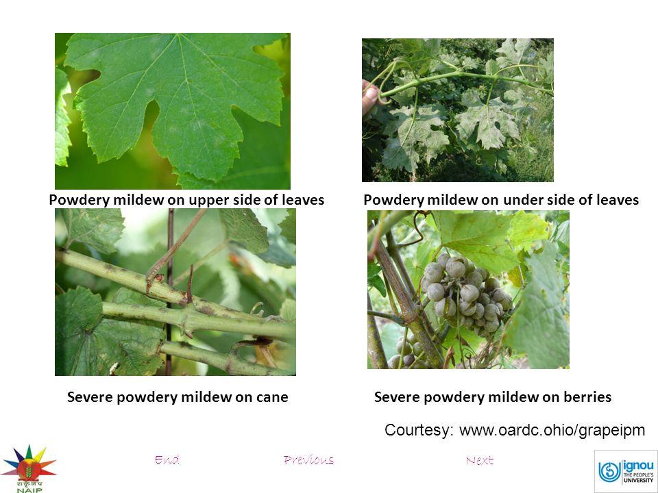 Powdery mildew on upper side of leaves