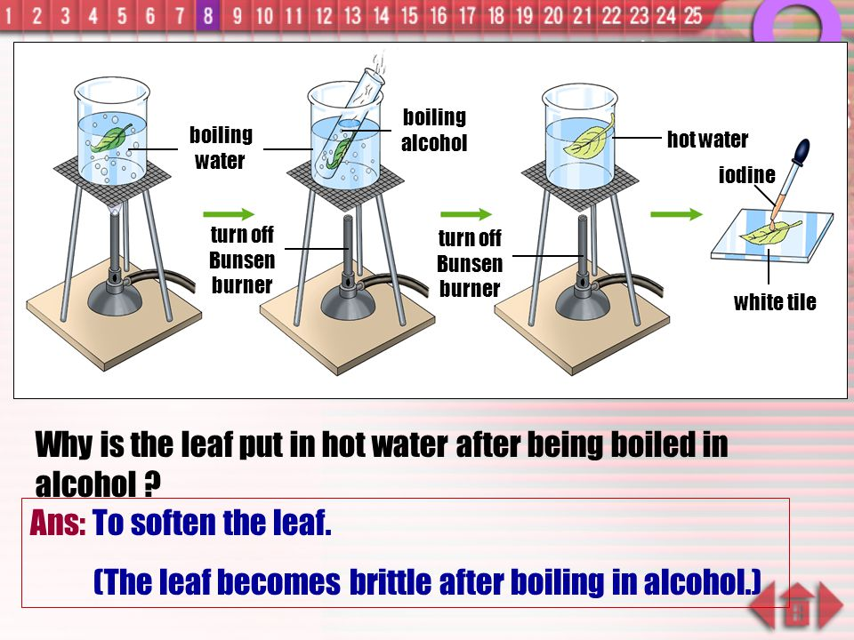 Why is the leaf put in hot water after being boiled in alcohol