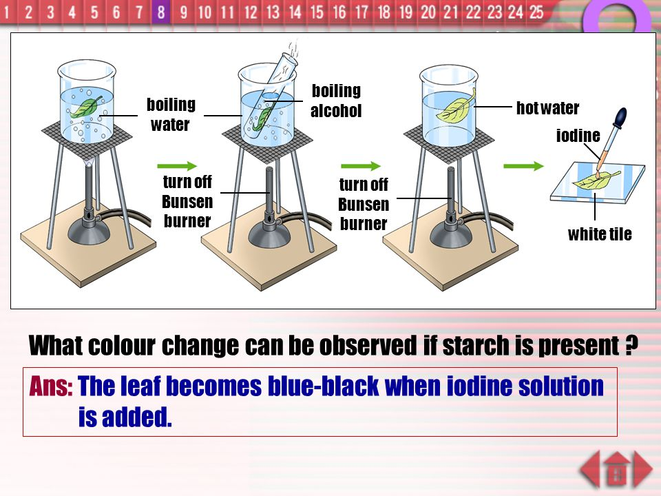 What colour change can be observed if starch is present