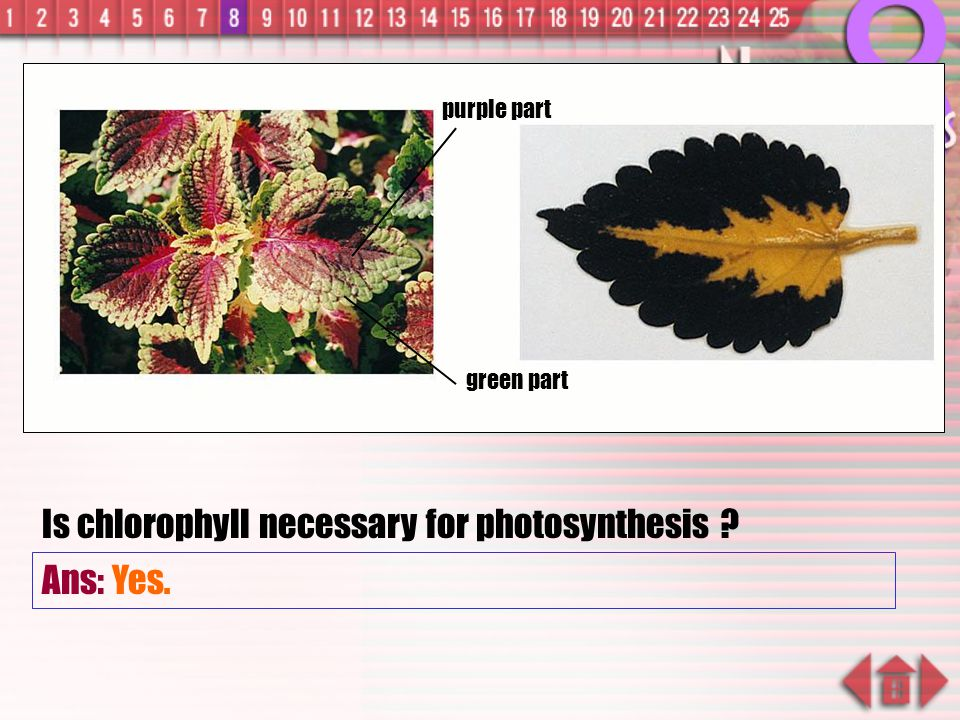 Is chlorophyll necessary for photosynthesis