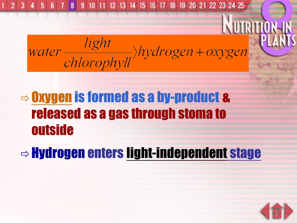 Oxygen is formed as a by-product & released as a gas through stoma to outside