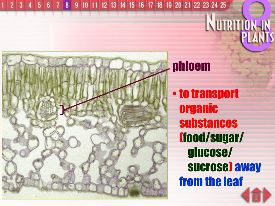 phloem to transport organic substances (food/sugar/ glucose/ sucrose) away from the leaf