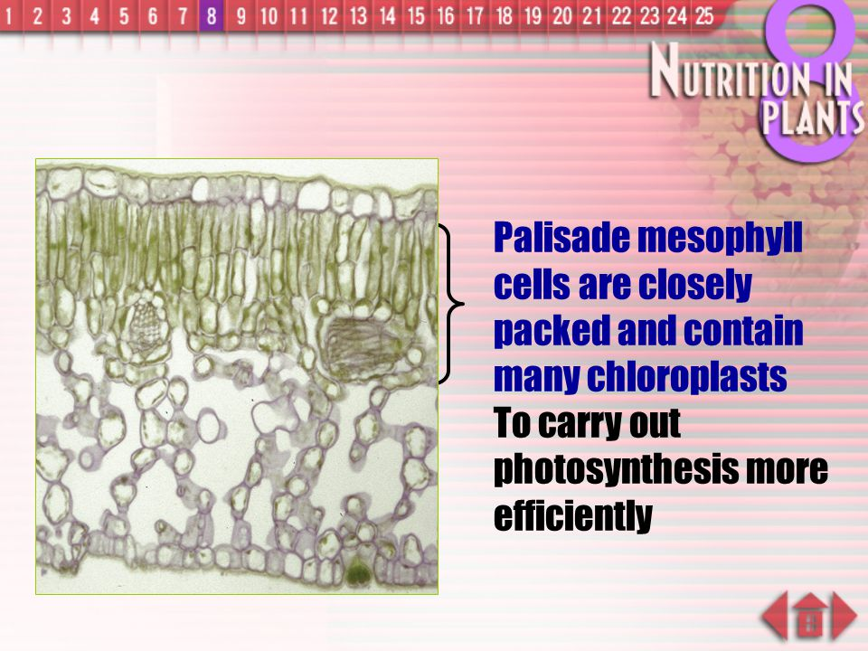 Palisade mesophyll cells are closely packed and contain many chloroplasts