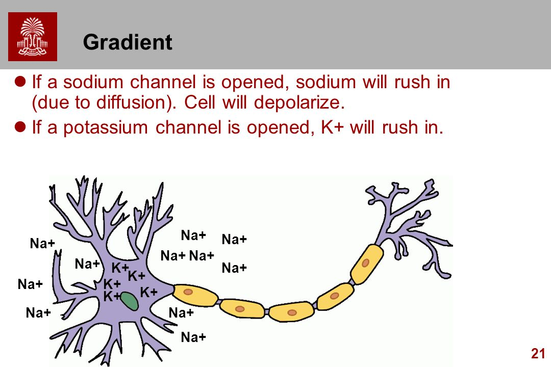 Gradient If a sodium channel is opened, sodium will rush in (due to diffusion). Cell will depolarize.