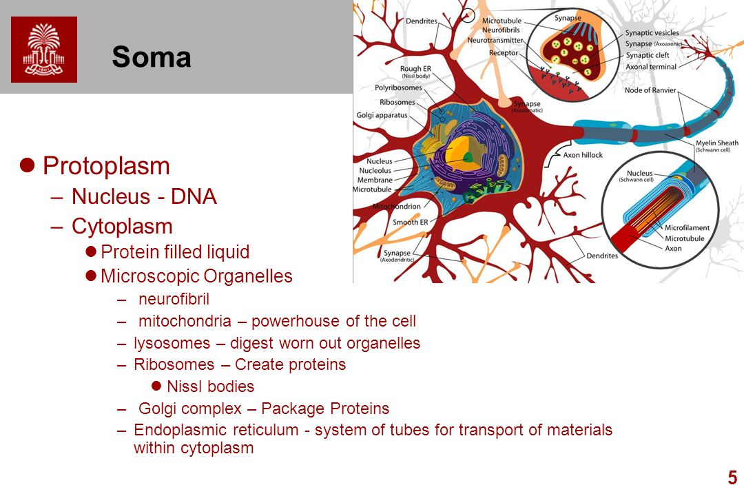 Soma Protoplasm Nucleus - DNA Cytoplasm Protein filled liquid