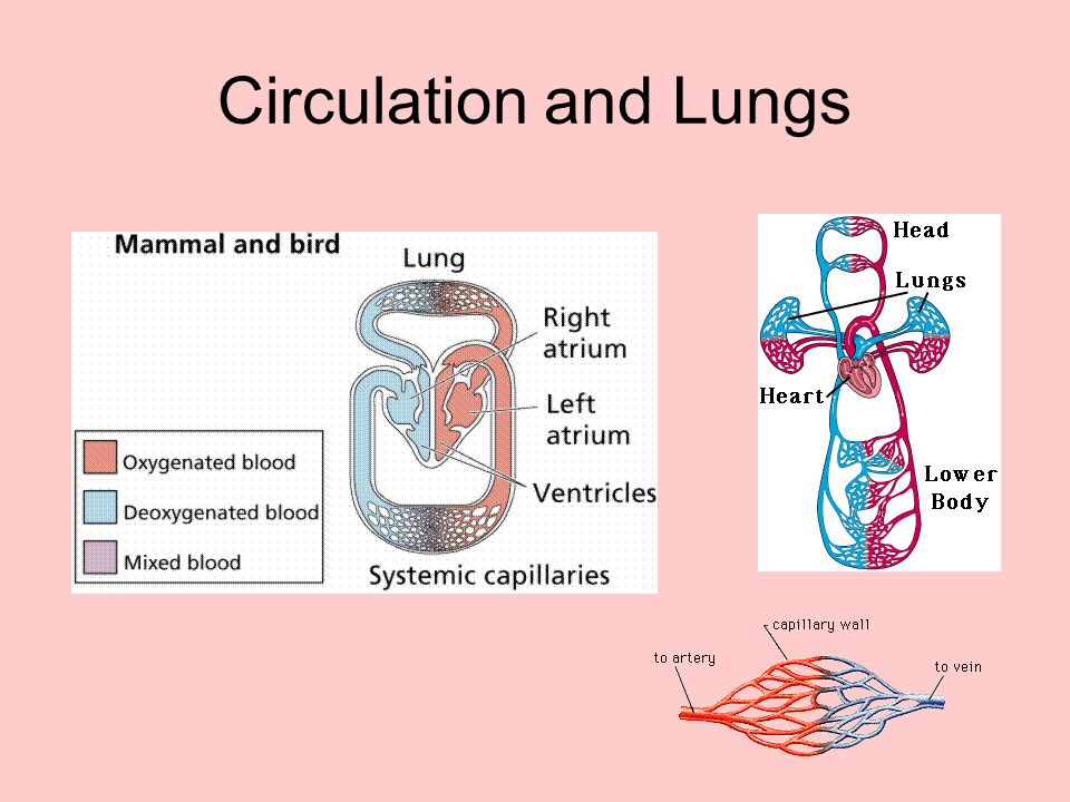 Circulation and Lungs