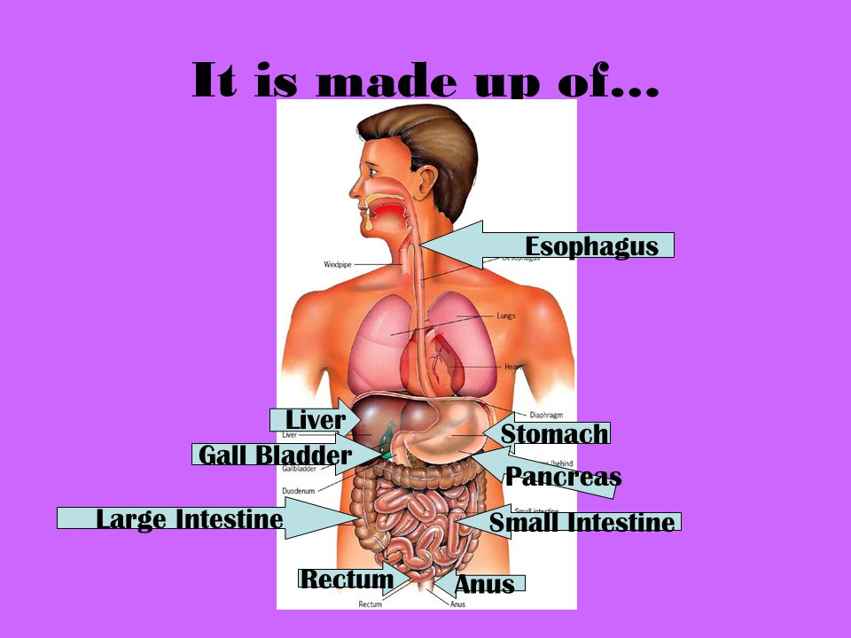 It is made up of… Esophagus Liver Stomach Gall Bladder Pancreas