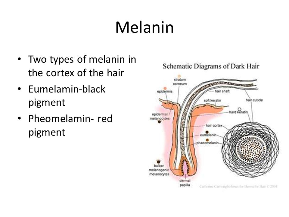 Melanin Two types of melanin in the cortex of the hair