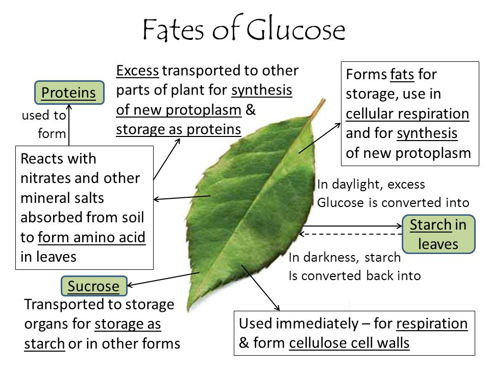 Fates of Glucose Excess transported to other parts of plant for synthesis of new protoplasm & storage as proteins.