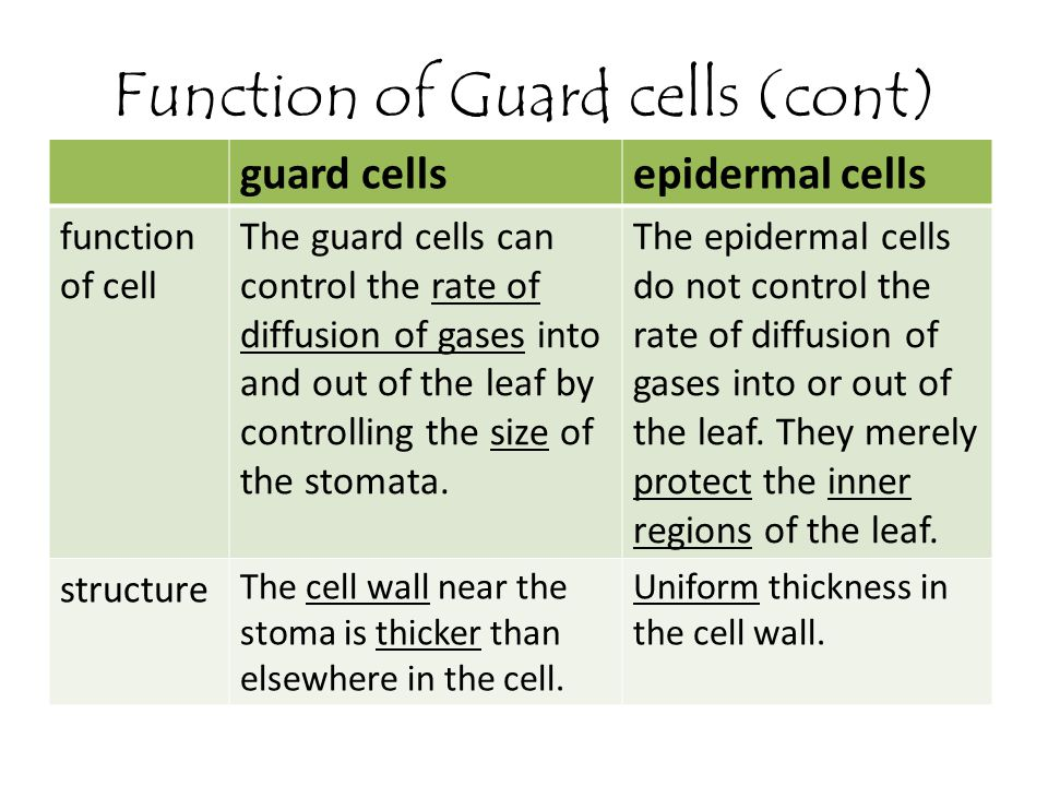 Function of Guard cells (cont)