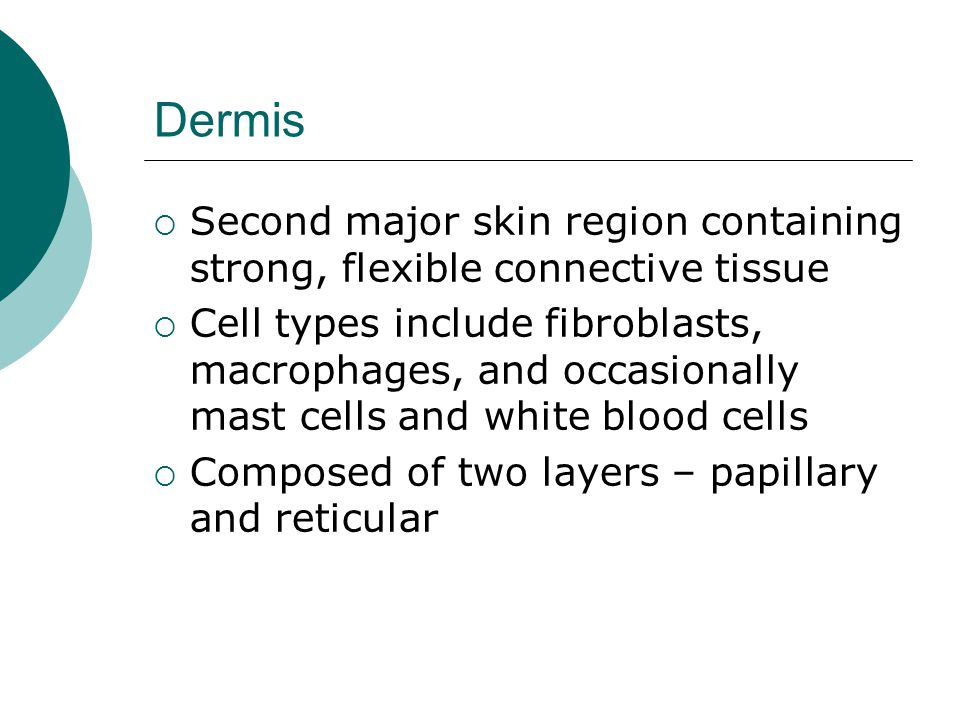 Dermis Second major skin region containing strong, flexible connective tissue.
