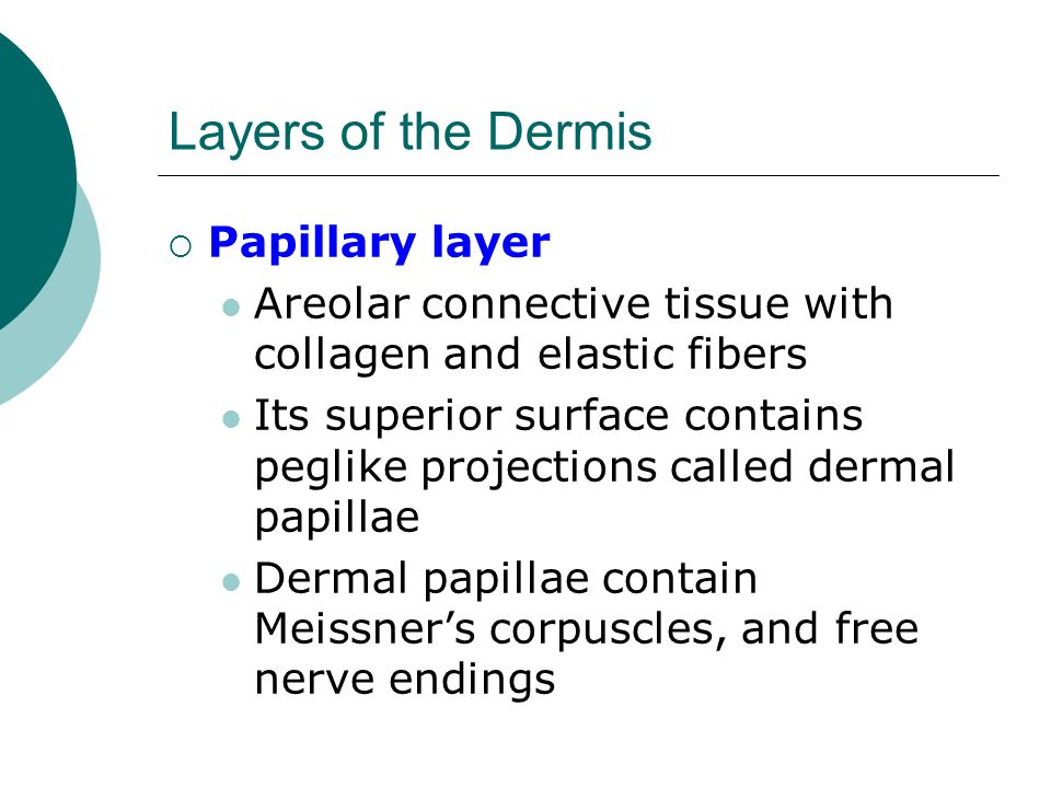 Layers of the Dermis Papillary layer