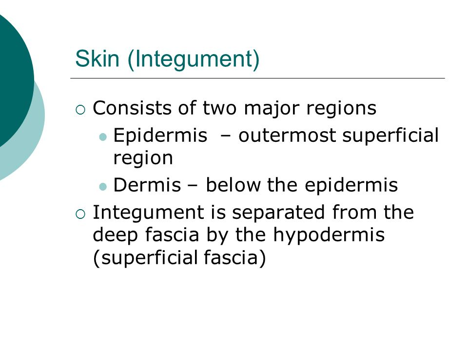 Skin (Integument) Consists of two major regions